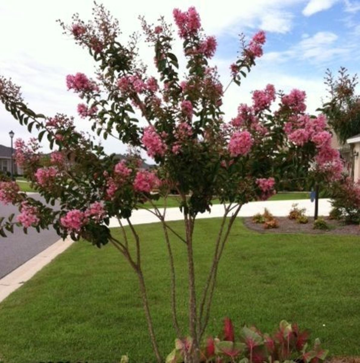 This myrtle is on its 2nd bloom cycle. You can see many new buds that haven't yet opened.