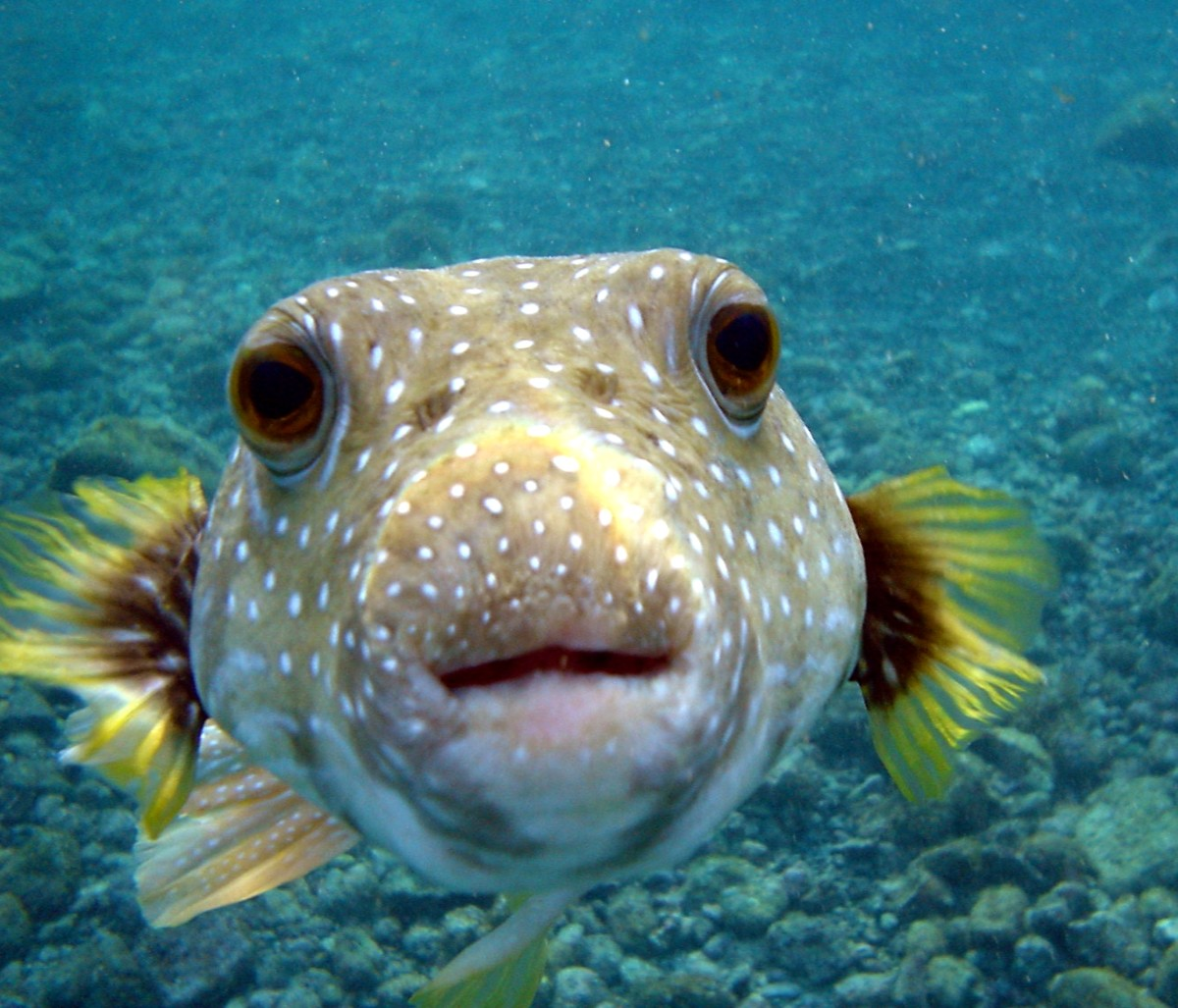 Puffer Fish: delicious and deadly