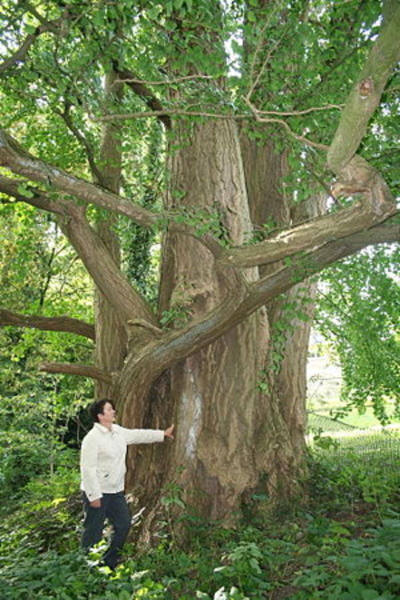 Ginkgo biloba tree.