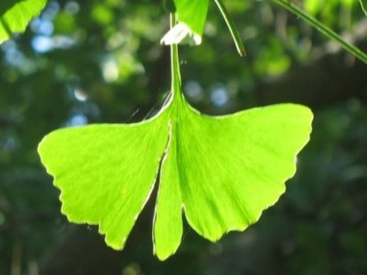 Ginkgo Biloba leaf is what has the health benefits.