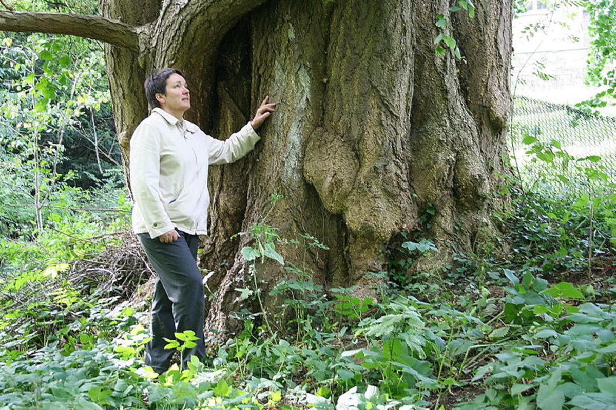 Ginkgo biloba tree trunk.