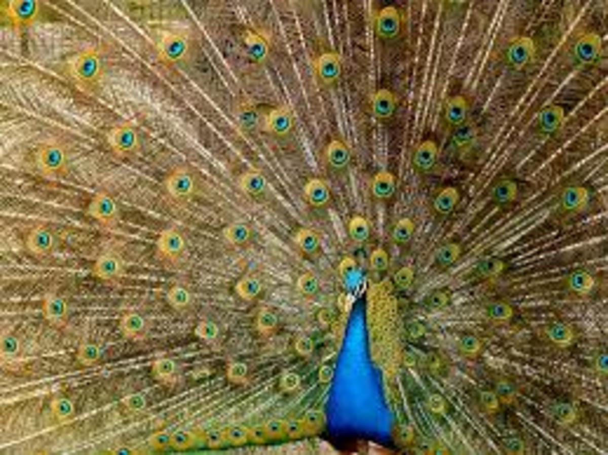 Peacocks use their tail feathers for courting