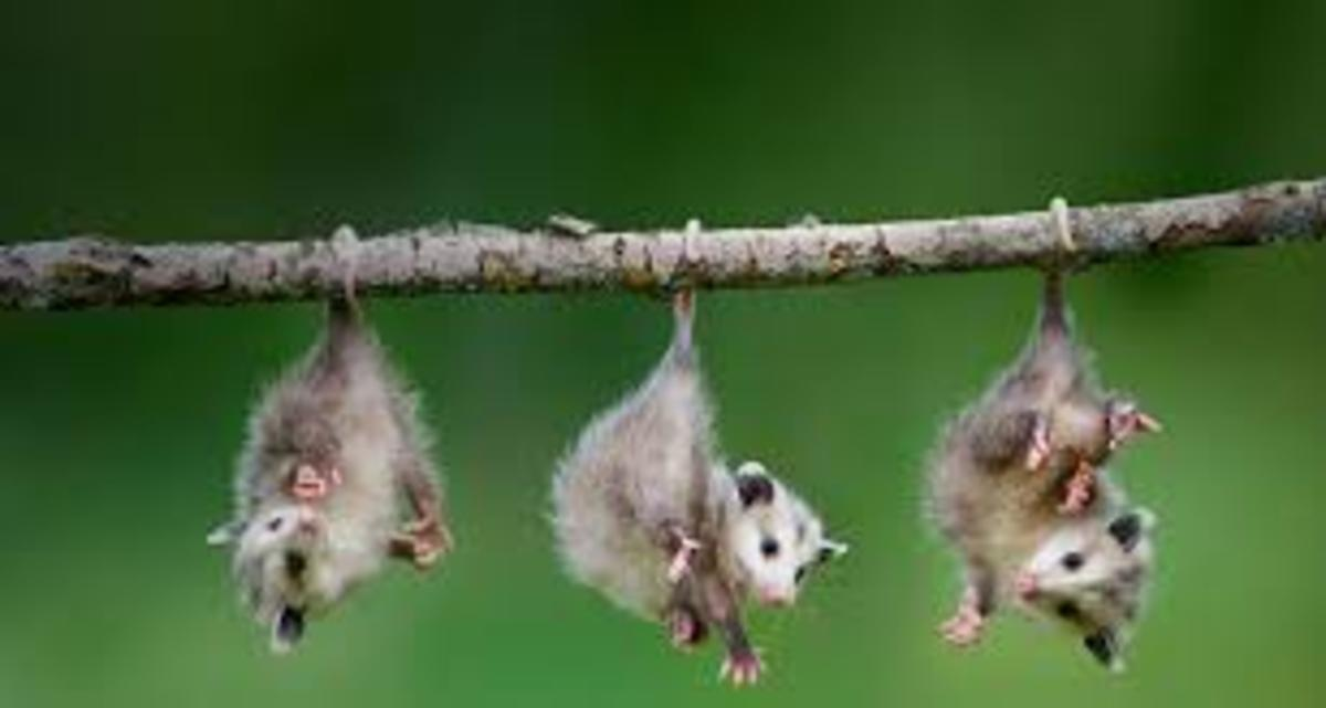 Opposum hanging by their tails