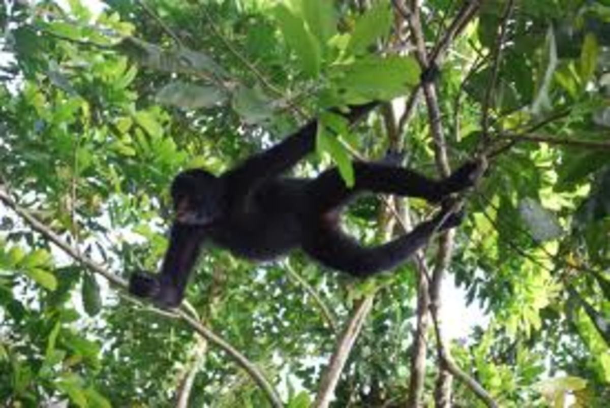 Spider Monkeys use their tails to move across the forest