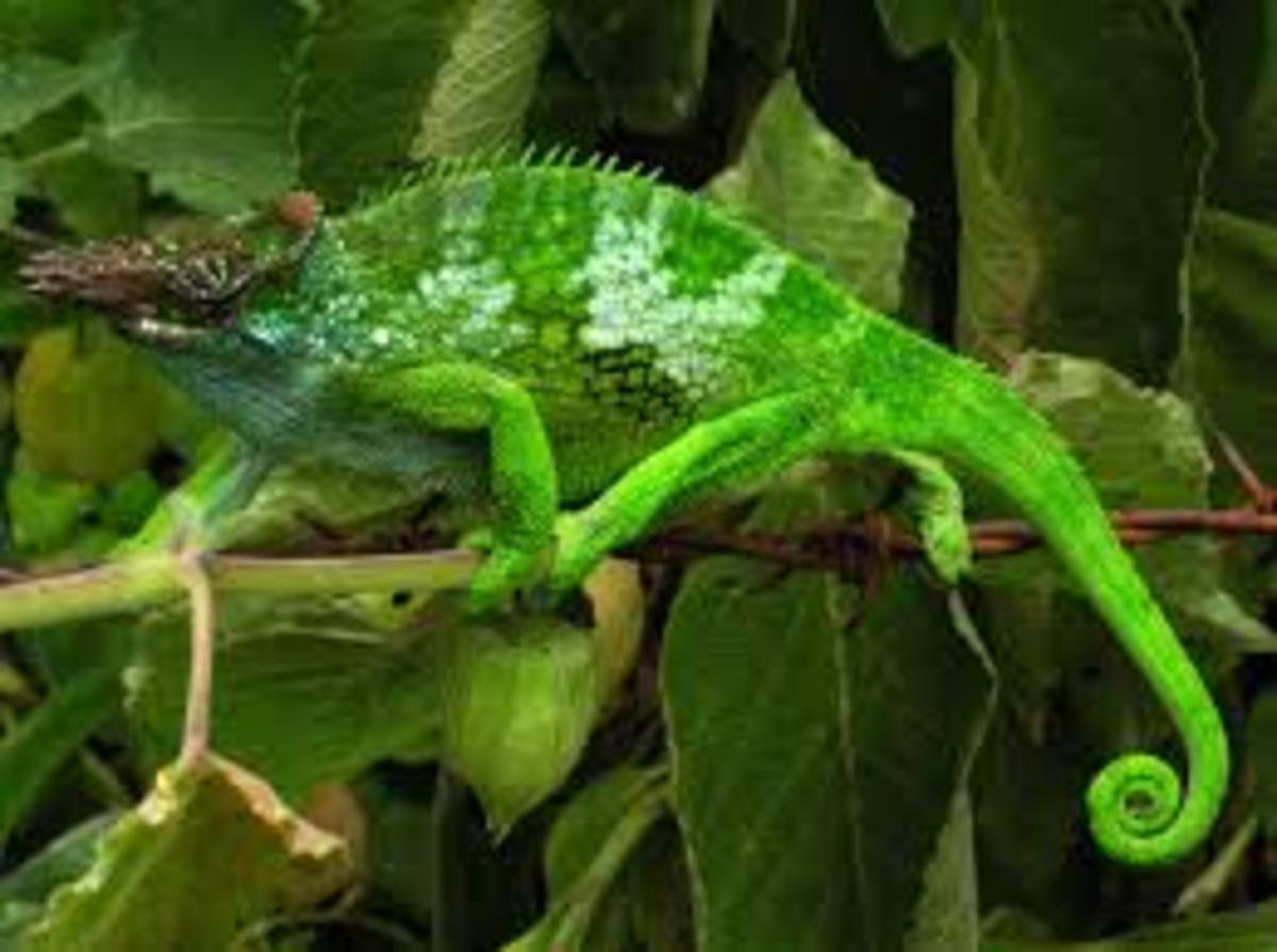 Chameleon use tails for grasping