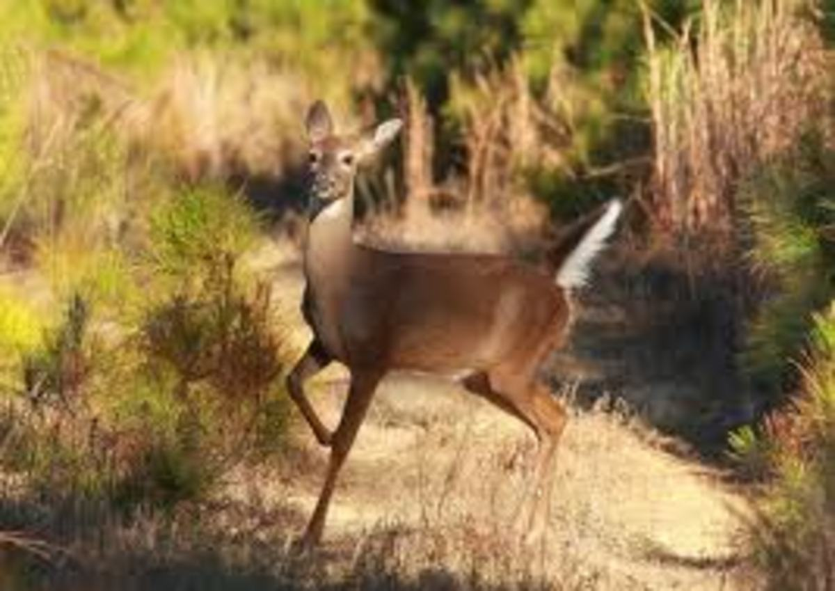 White tailed deer communicate with their tails