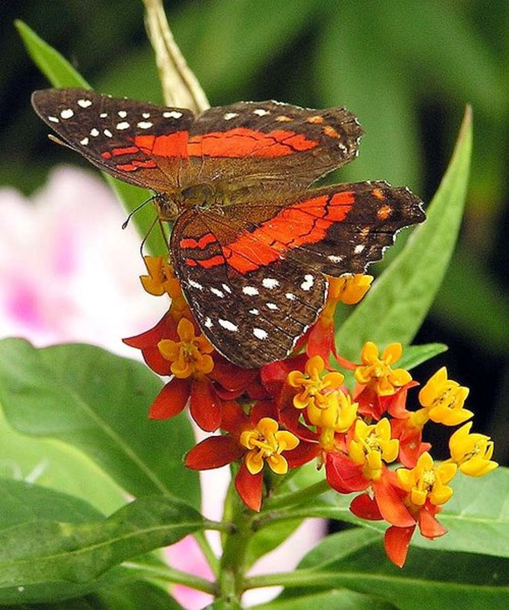 Butterfly milk weed is loved by the Scarlet Peacock butterfly.