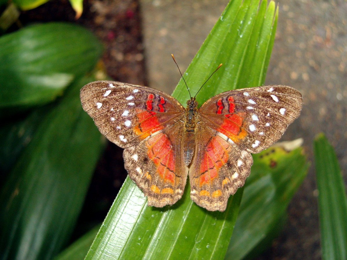 The Scarlet Peacock Butterfly on a leaf.  One of the times I saw one in person, and I was so happy to see it!