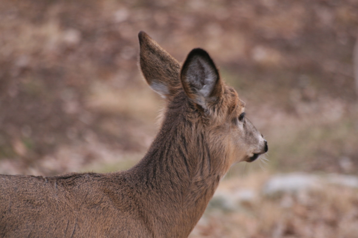 A white tail deer was the first animal in the OKC zoo