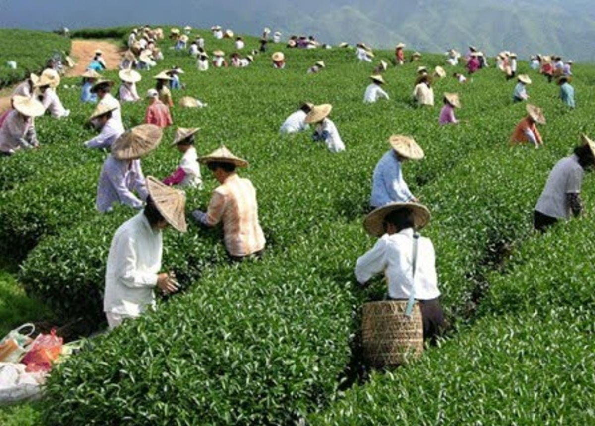 Tea being traditionally harvested. This article says that the best temperature for the water to be when green tea is made is 160F (boiling is 212F).