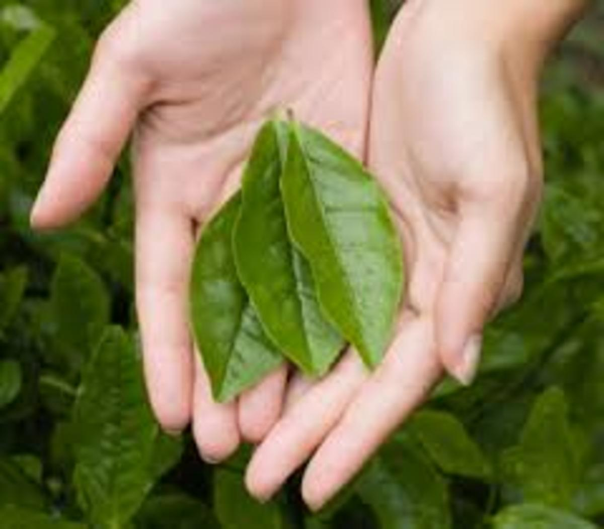 Green Tea leaves. Journal of Nutrition states that tea is the number one source of flavonoids (those cancer- and cholesterol-busting antioxidants) in the American diet.