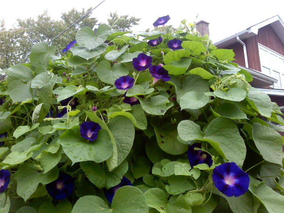 "Morning Glory ""Grandpa Ott"" in bloom"