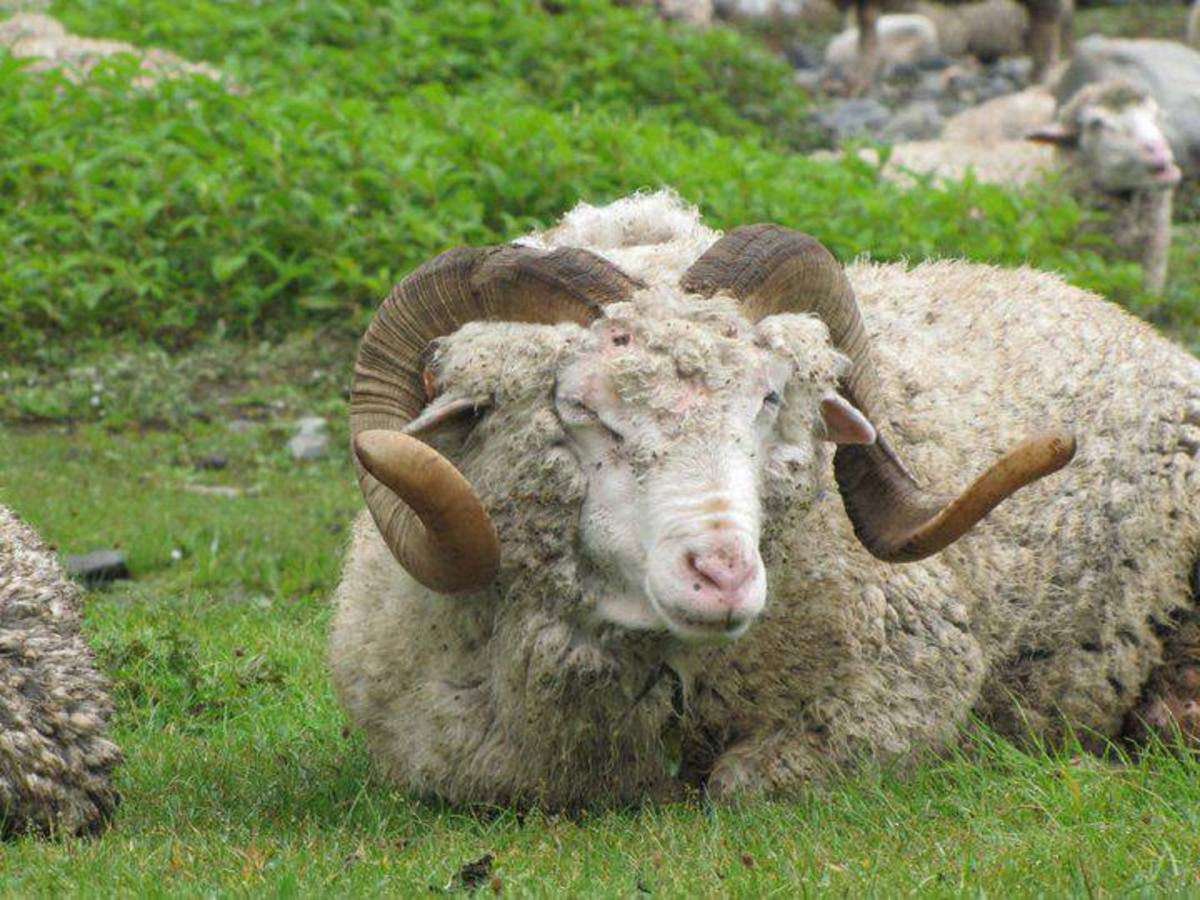 The wool is extracted from Ram locally called Hullas
