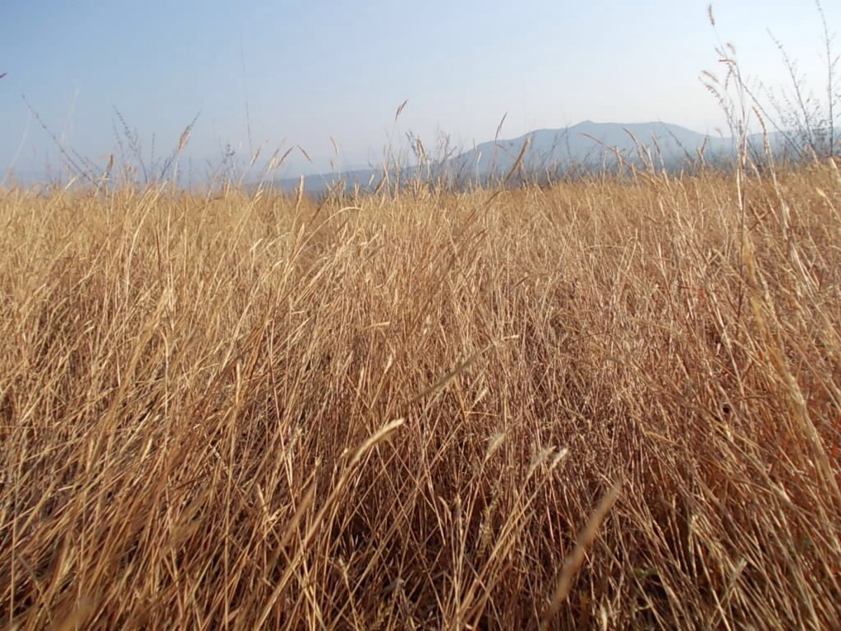 dry-grass