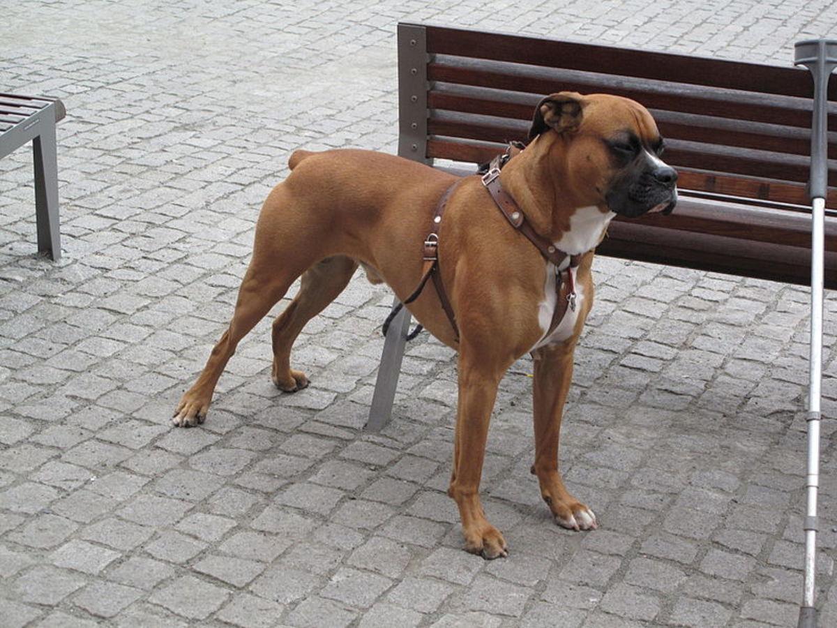 top-10-dangerous-dogs-top-dog-breeds