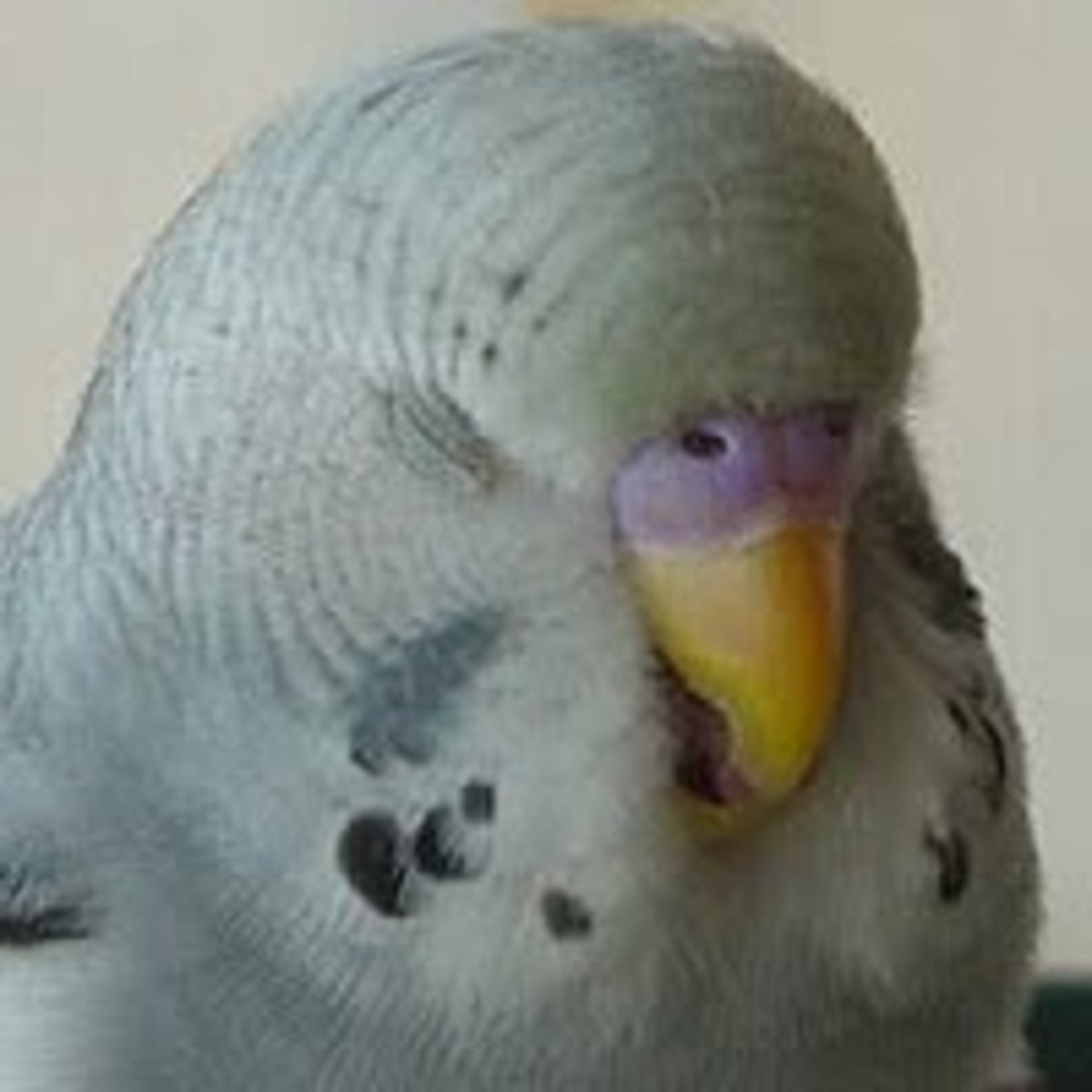 Parakeet age and Gender