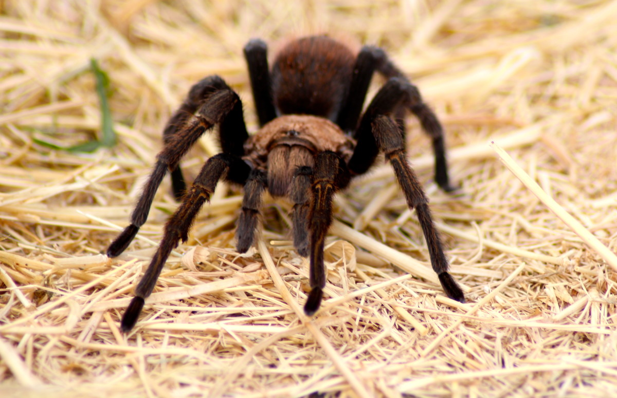 Arachnids are a great home remedy for the prevention of an infestation of house guests.