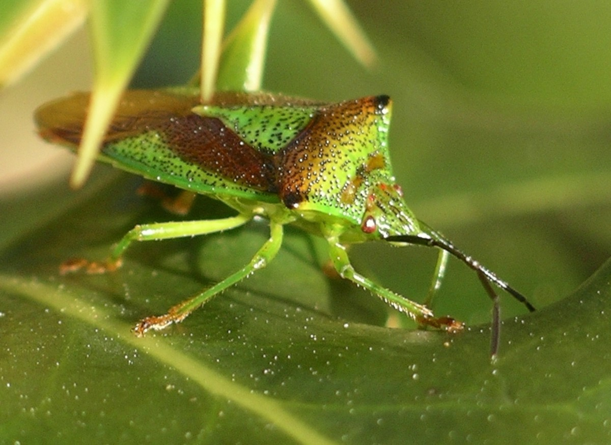 What are True Bugs?