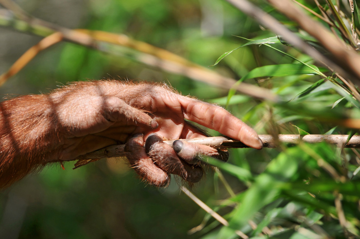 Orangutan using grass tool like chimps