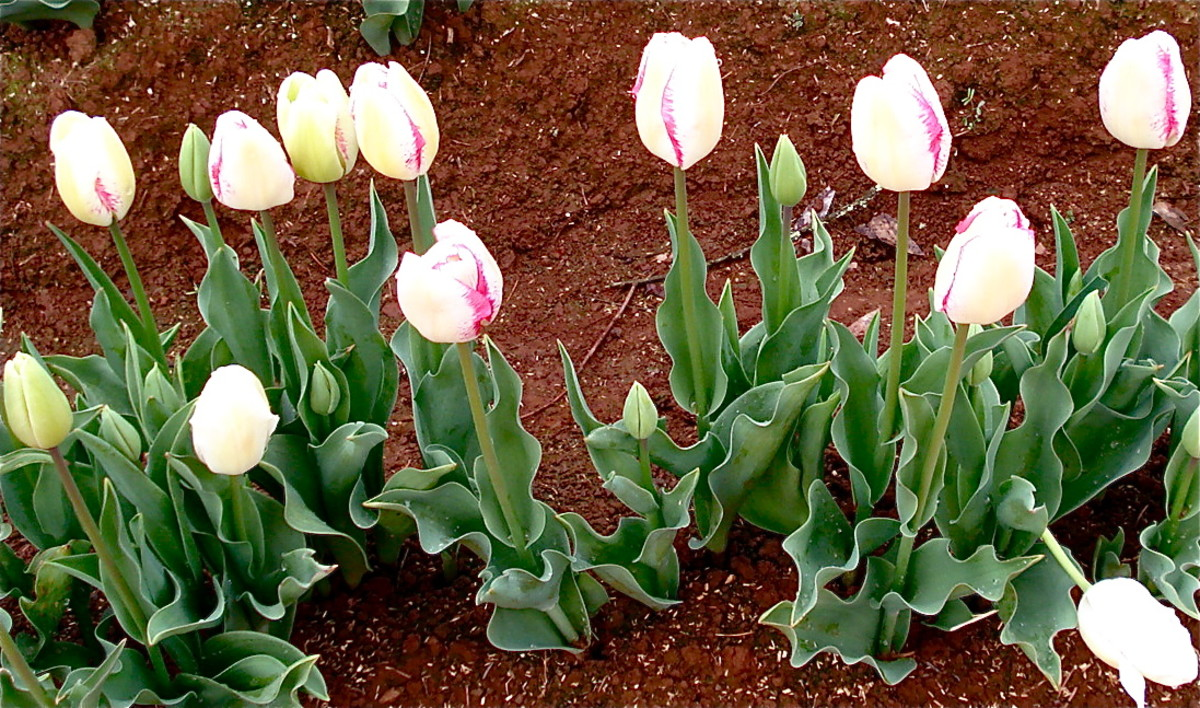 Bi-coloured Tulips in Chocolate Soil