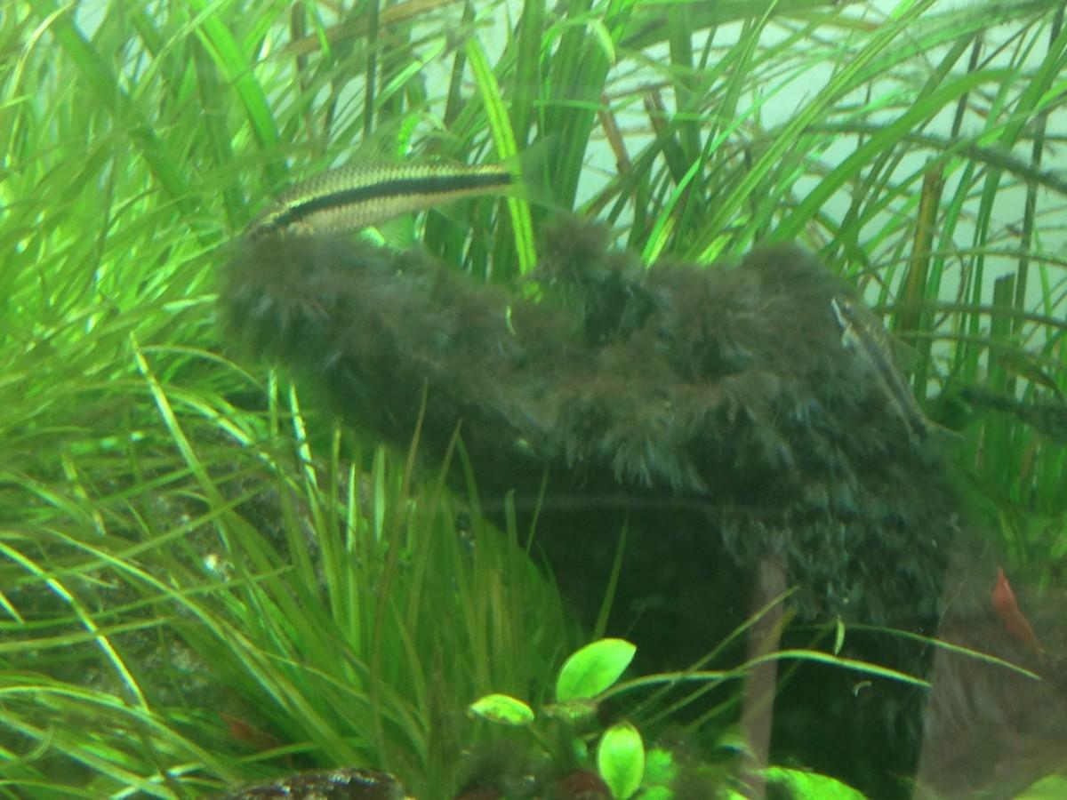 SAE eating Black Brish Algae that has infested a driftwood.