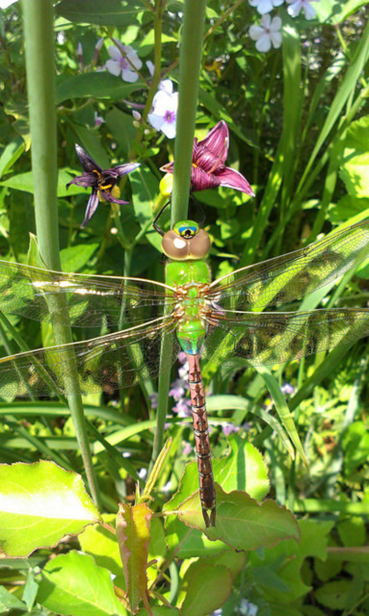 Common Green Darner (Female)