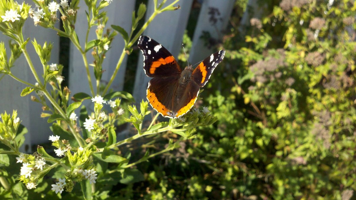 Red Admiral Butterfly sunning itself