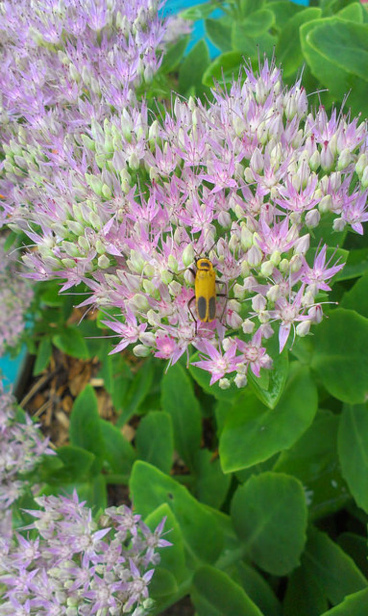 Pennsylvania Leatherwing Beetle gathering pollen from a Sedum flower