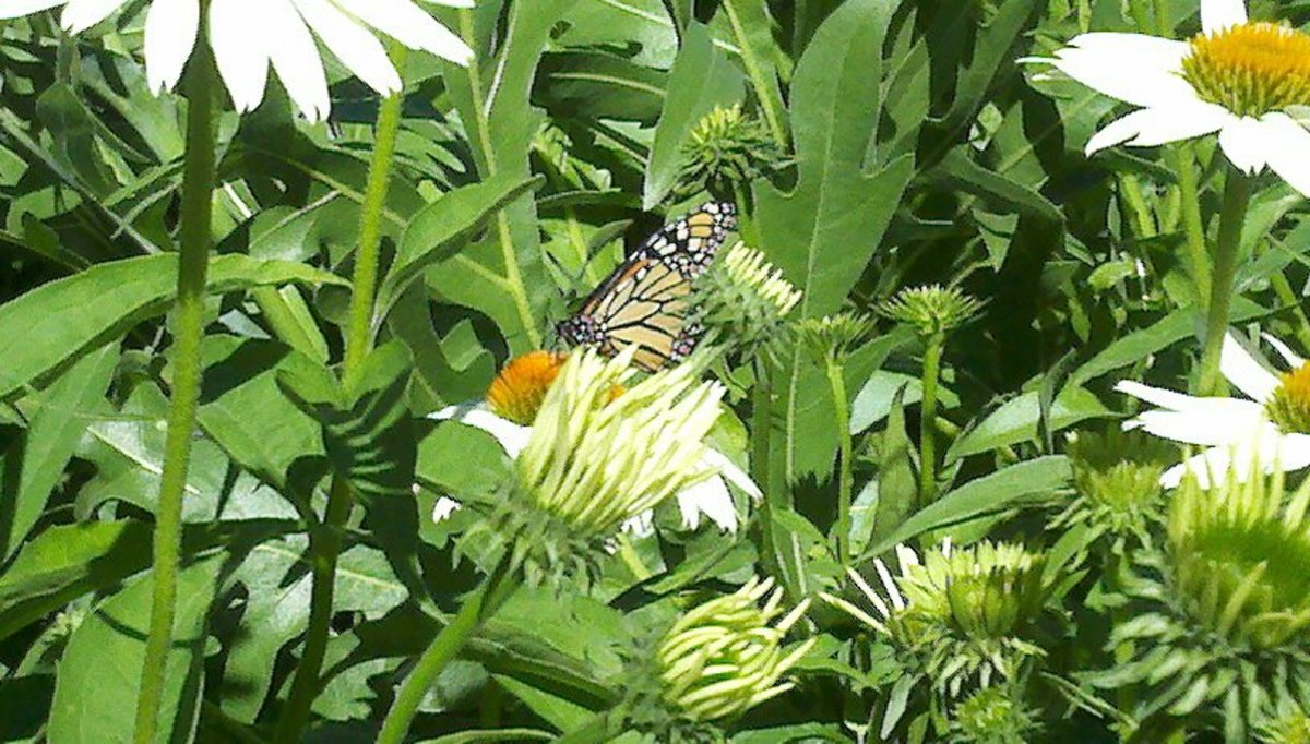 Monarch visiting a White Coneflower