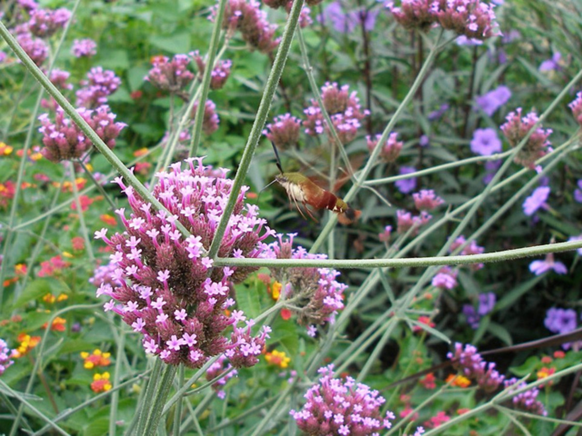 Hummingbird Moth gathering pollen