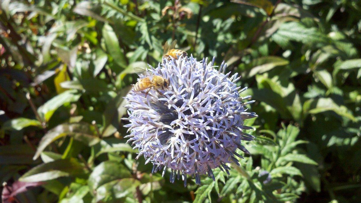 Honey Bees on Globe Thistle