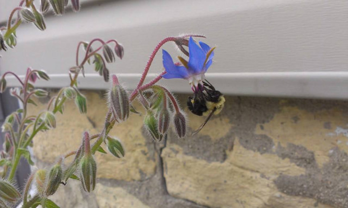 Common Eastern Bumble Bee feeding on Borage Blossoms