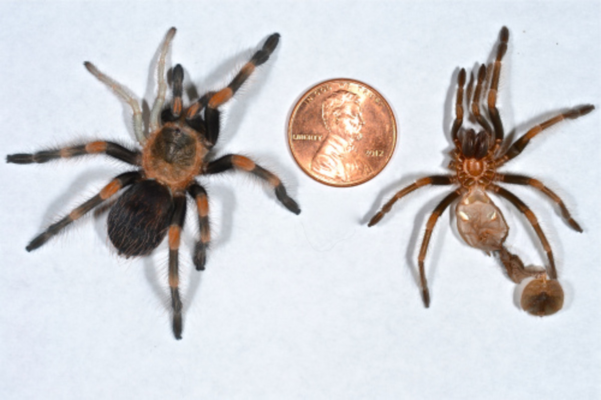 Left: Mexican Red Knee Tarantula with 2 recently regenerated legs on the left superior. Right: Molt which preceded the photo.