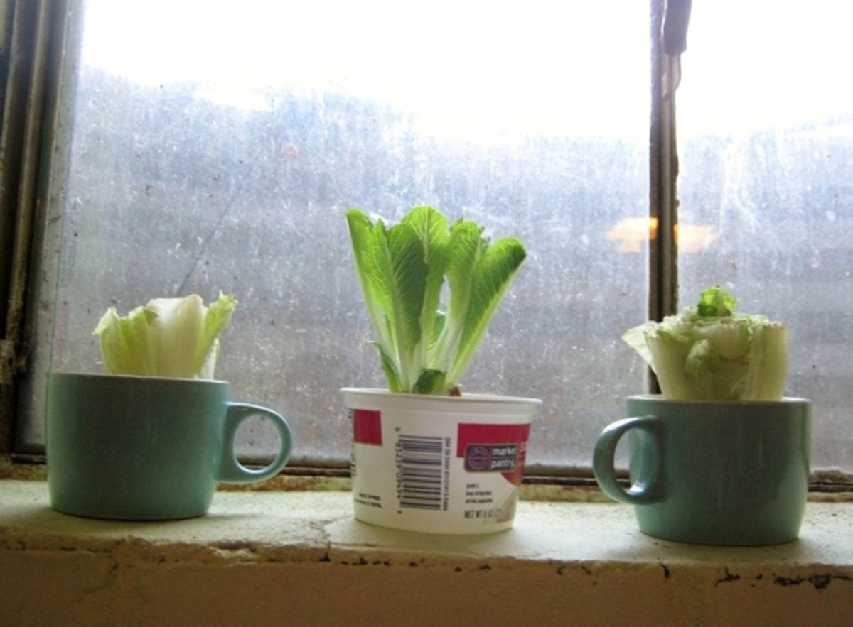 Veggies regrowing on a kitchen windowsill.