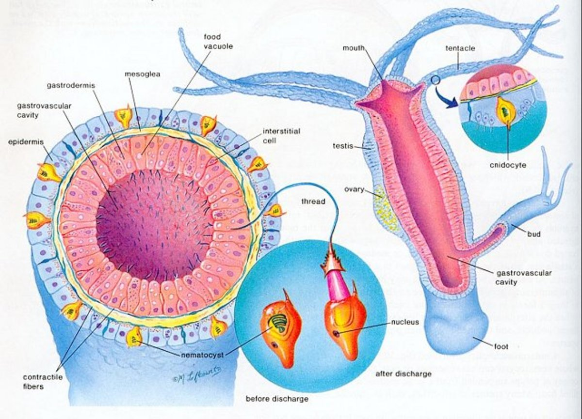 A hydro grows and releases cnidocytes. The cnidocytes mature into adult hydras.