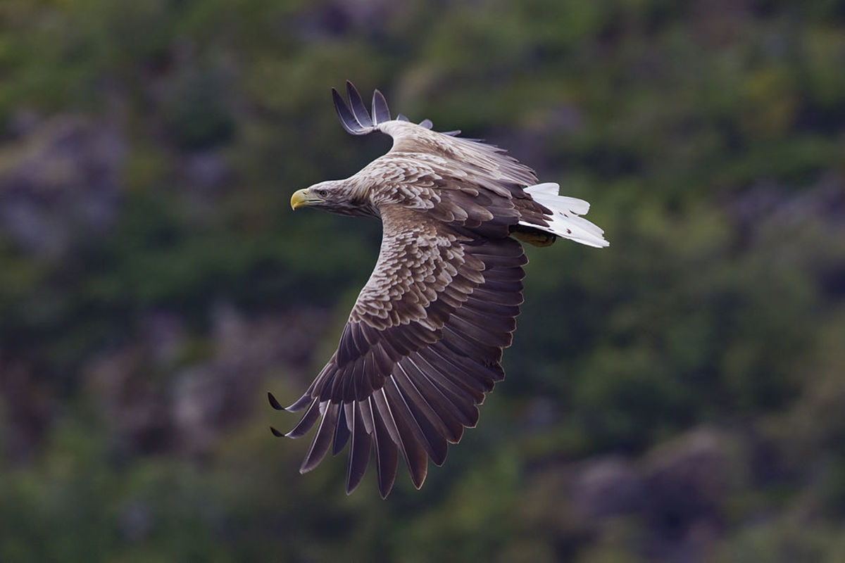 White tailed eagles are Eurasian eagles known to sometimes kill golden eagles.
