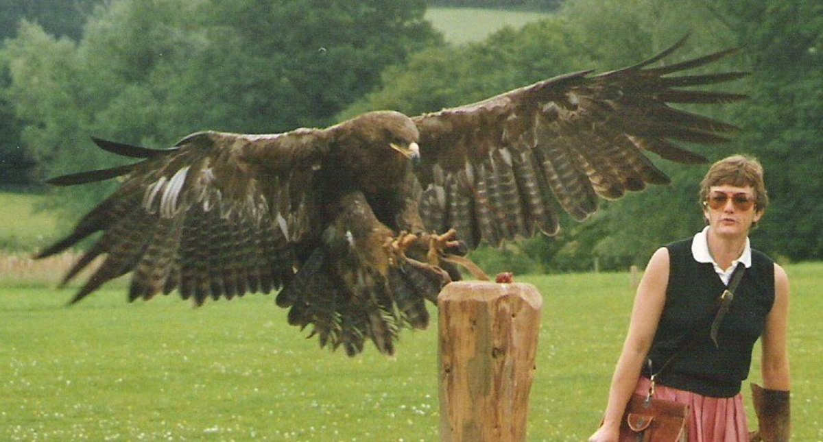 The Great Golden Eagle | HubPages