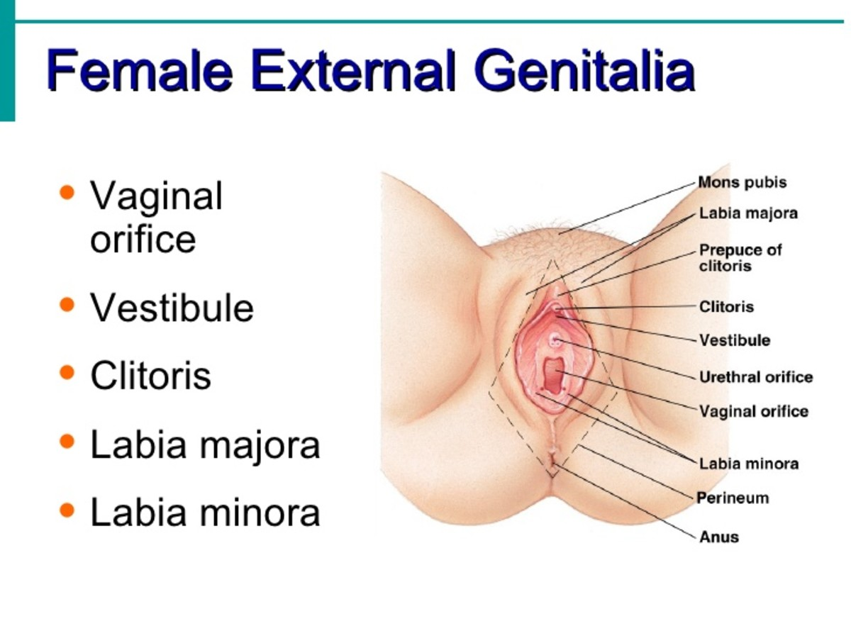 human-female-reproductive-system