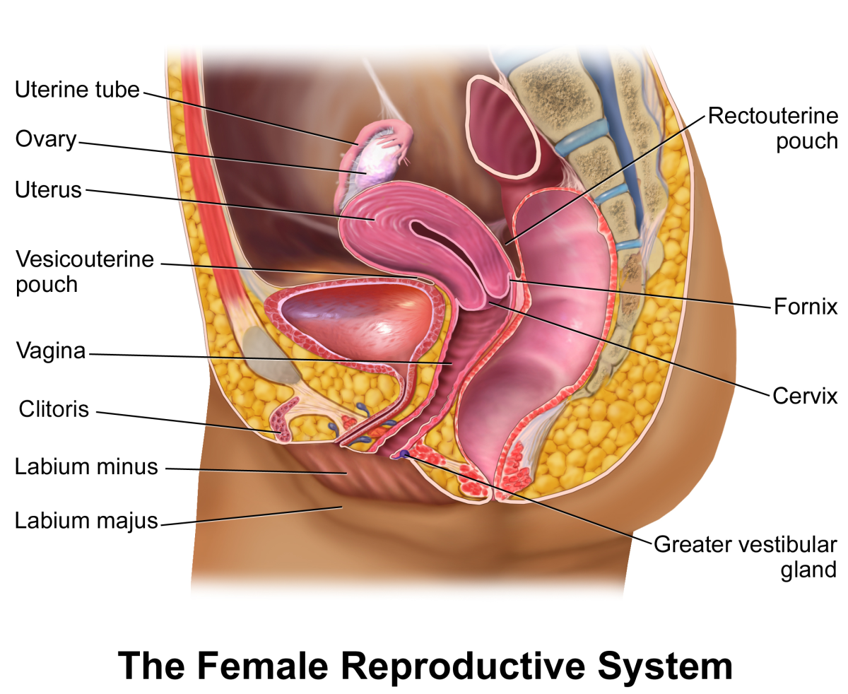 Human Female Reproductive System Hubpages