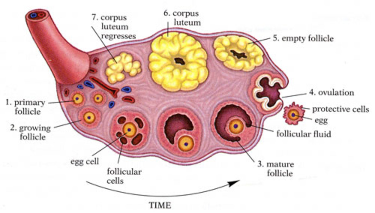 Human Female Reproductive System  Hubpages-7062