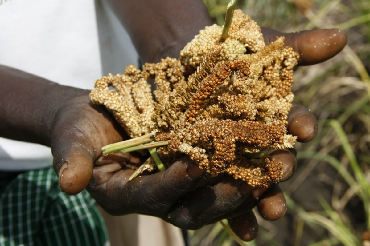Harvested finger millet