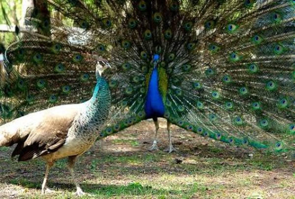 Male and female peacocks