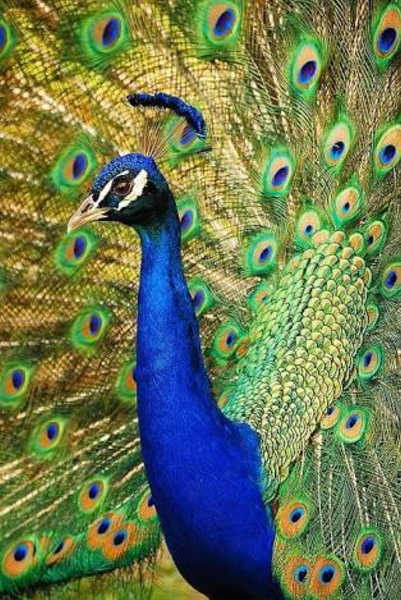 Peacock-The National Bird of India