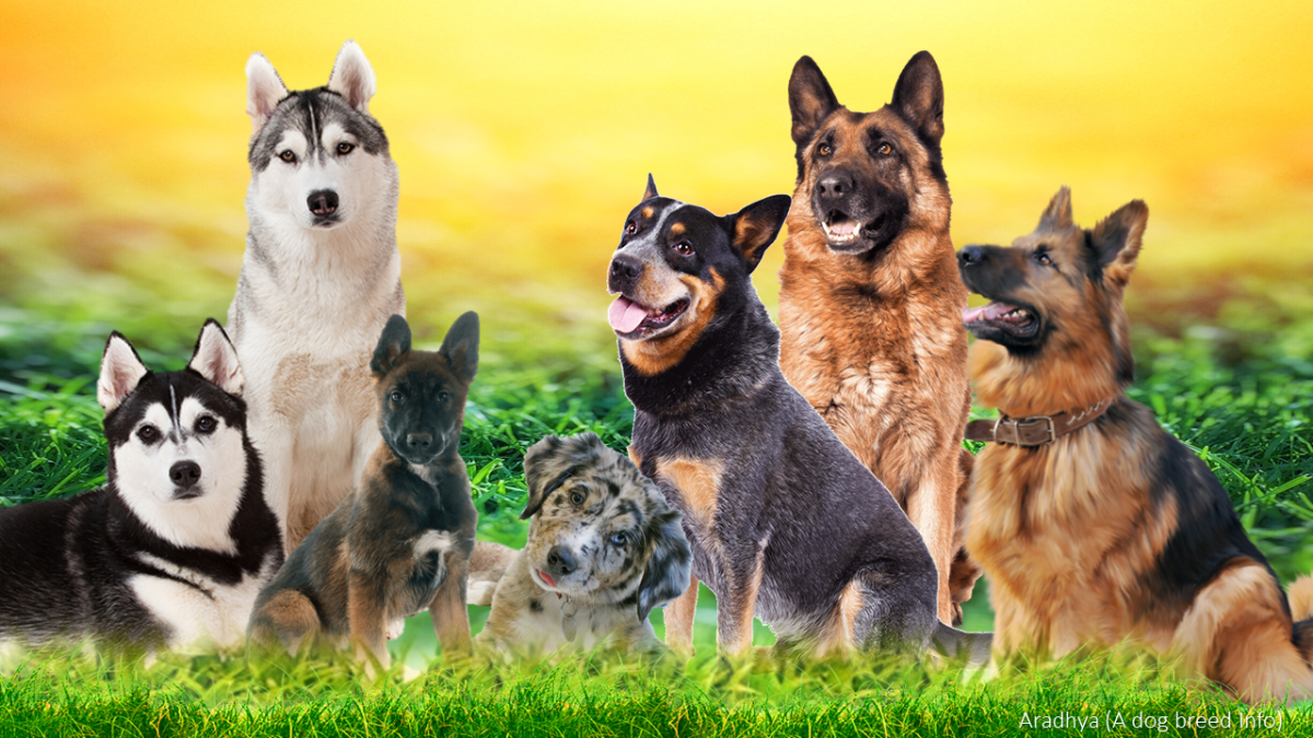 15 Most Popular German Shepherd Mix Dogs