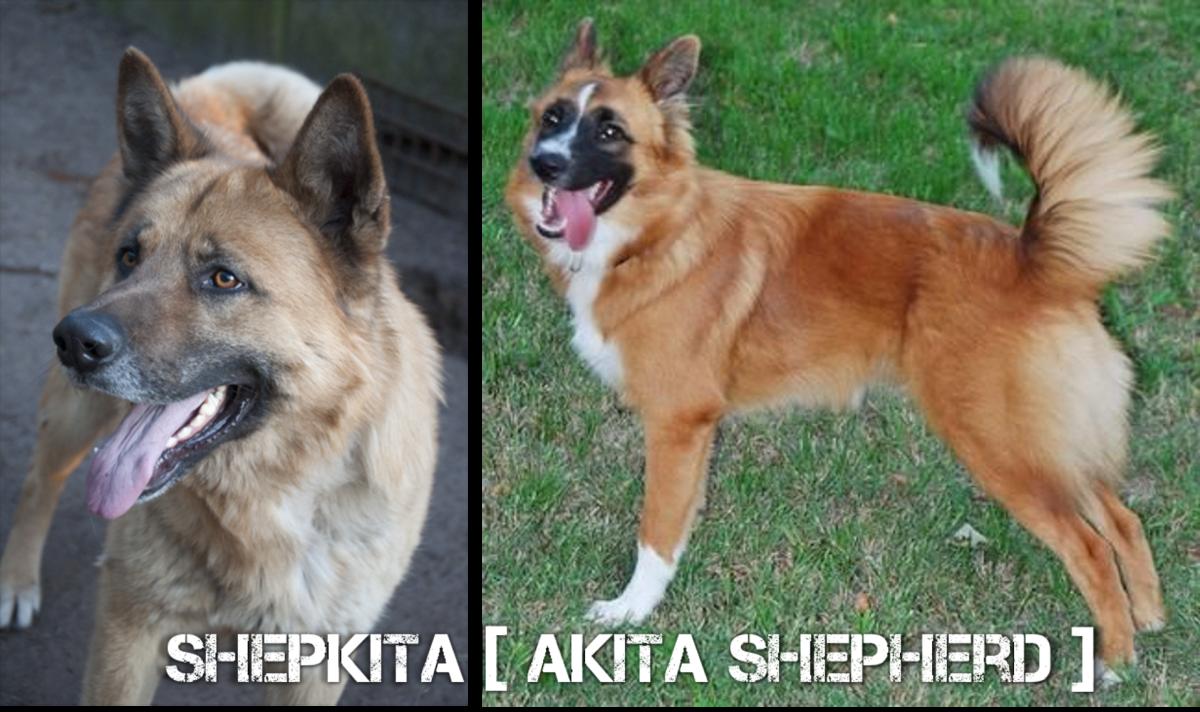 Shepkita (Akita Shepherd)