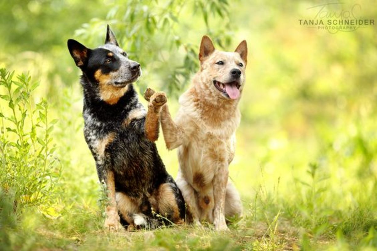 Do you like, German Shepherd mix Dogs?