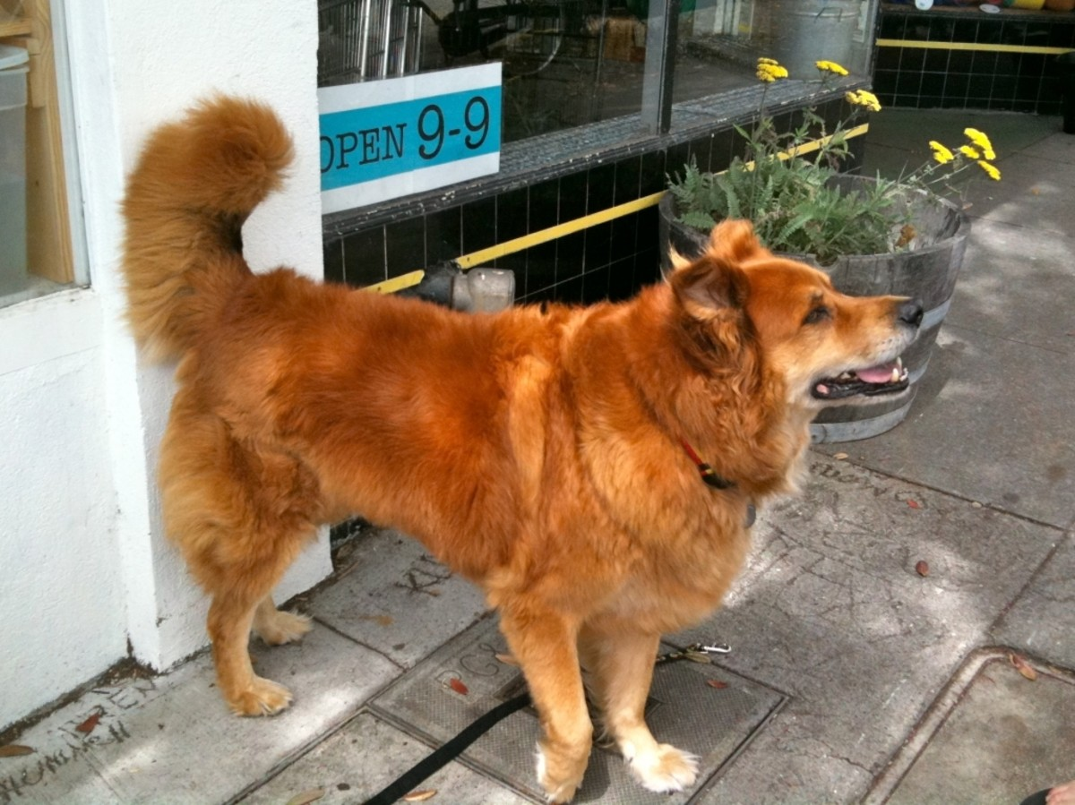 Chow Shepherd (Chow Chow and German shepherd mix)
