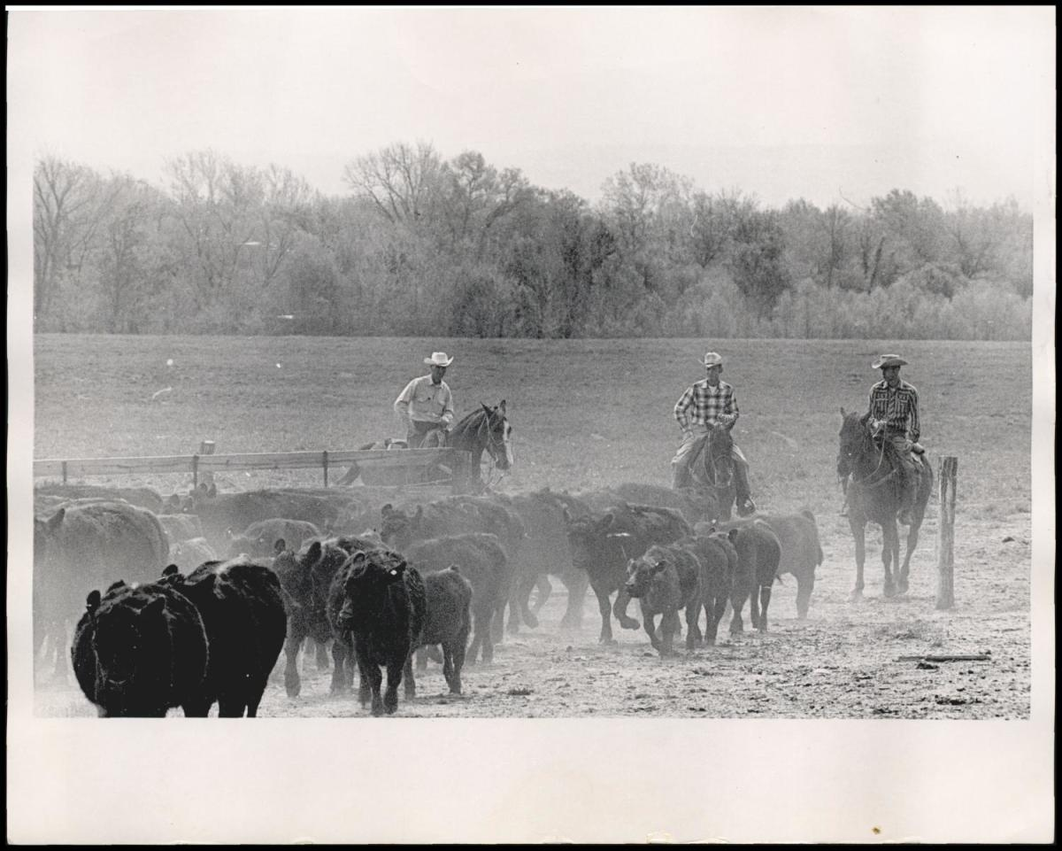 These cowboys, working from dawn until dark, will complete the Kerr Angus roundup Sunday 1964 at the Kerr Ranch just south of Poteau