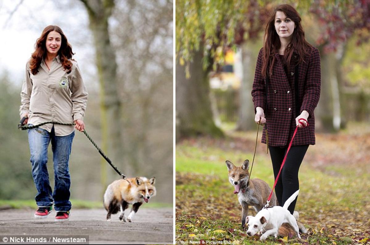 7-reason-fox-is-better-pet-than-dog