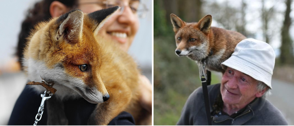 The Russian Tame and Domesticated Fox